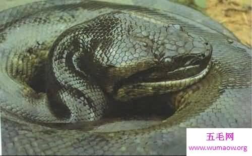 100多米长的蟒蛇_中国最大的蛇是什么样子的据说有55米长-五毛网