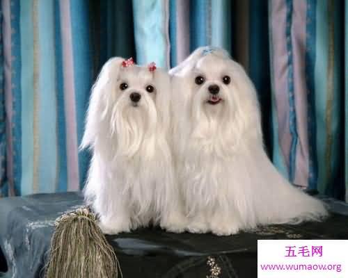 世界十大最贵名犬排行榜,这个狗一般人不敢养。