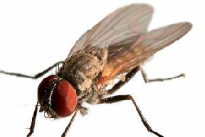 坚挺金苍蝇是什么_动物之最-五毛网